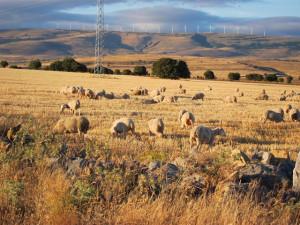 ¿Ovejas y cabras con GPS? La trashumancia big data define los caminos para los pastores del mañana